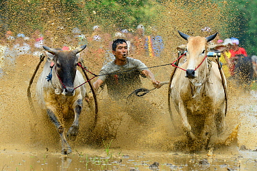Two oxen pulling man in sled through post-harvest flooded rice field, crowd watching in background. Rice race during Pacu Jawi, a religious event with parades, ceremonies and weddings. The most powerf...