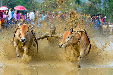 Oxen, two pulling man in sled through post-harvest flooded rice field, crowd watching on bank. Rice race during Pacu Jawi, a religious event with parades, ceremonies and weddings. The most powerful ca...