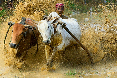 Two oxen pulling man in sled through post-harvest flooded rice field. Rice race during Pacu Jawi, a religious event with parades, ceremonies and weddings. The most powerful cattle are sold for a good...
