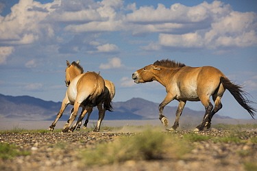Przewalski horse (Equus ferus przewalskii) stallion chasing mare with a foal. Great Gobi B Strictly Protected Area, Mongolia. August.