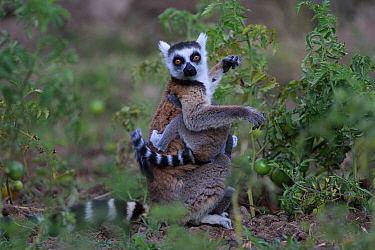 Ringed-tailed lemur (Lemur catta) female with baby amongst Tomato crop, Anja Community Reserve. Madagascar.