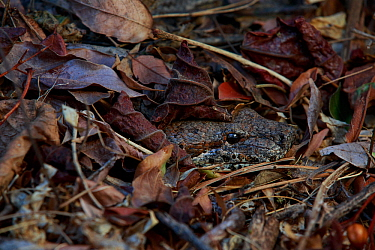 Malagasy ground boa (Acrantophis madagascariensis) camouflaged in leaf litter. Anja Community Reserve, Madagascar.