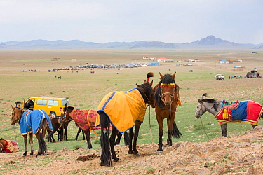 Horses standing in steppe prior to racing. Naadam festival, Great Gobi B Strictly Protected Area, Mongolia. August 2018.