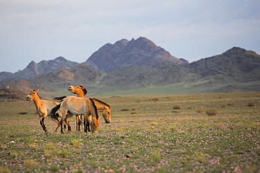 Przewalski horse (Equus ferus przewalskii), four mares grazing in steppe with mountains beyond. Reintroduced through European Endangered Species Program into acclimatisation enclosure, awaiting releas...