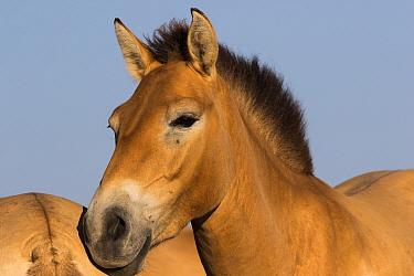 Przewalski horse (Equus ferus przewalskii) mare. Reintroduced through European Endangered Species Program into acclimatisation enclosure, awaiting release into wild. Takhin Tal National Park, Great Go...