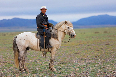 Shepherd riding horse to look for cattle. Cattle compete for food with reintroduced Przewalski horse (Equus ferus przewalskii). Great Gobi B Strictly Protected Area, Mongolia. August 2018.