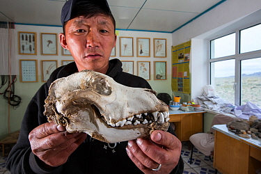 Wolf (Canis lupus) skull in man's hands. Wolves predate reintroduced Przewalski horse (Equus ferus przewalskii). Great Gobi B Strictly Protected Area, Mongolia. 2018.