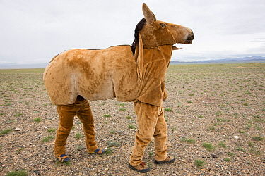 Mongolian wild ass / Khulan (Equus hemionus hemionus) costume prototype unsuccessful in allowing researchers to approach Khulan for scientific purposes. Great Gobi B Strictly Protected Area, Mongolia....