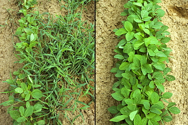 Comparison of untreated and herbicide treated Soybean (Glycine max) crop. Weeds have resulted in stunting of crop due to competion, Mississippi, USA.