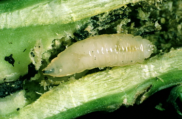 Cabbage root fly (Delia radicum) larvae with frass in damaged Oilseed rape (Brassica napus napus) root.