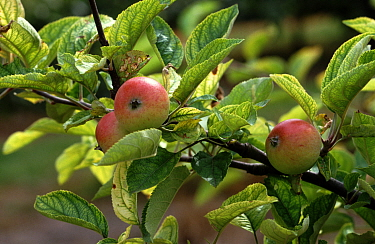 Apple (Malus domestica) branch with fruits and leaves. Leaves exhibiting interveinal chlorosis, symptom of iron deficiency.