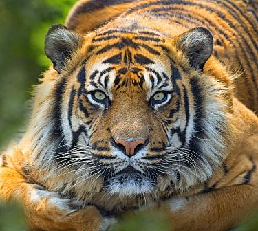 Sumatran tiger (Panthera tigris sondaica) portait, captive.