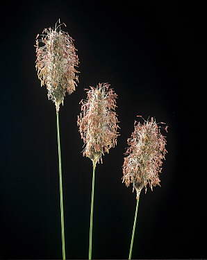 Meadow foxtail (Alopecurus pratensis), three flower spikes with anthers and stamens.