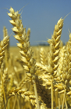 Winter wheat (Triticum aestivum) ears, ripe and ready to harvest. Berkshire, England, UK.
