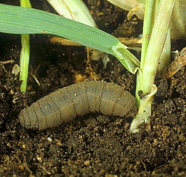 Marsh crane fly (Tipula oleracea) larva / leatherjacket attacking cereal plant, Wheat (Triticum aestivum), at soil level.