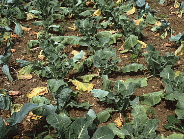 Cabbage (Brassica oleracea) crop wilted due to Clubroot (Plasmodiophora brassicae) allotment soil infection. England, UK.