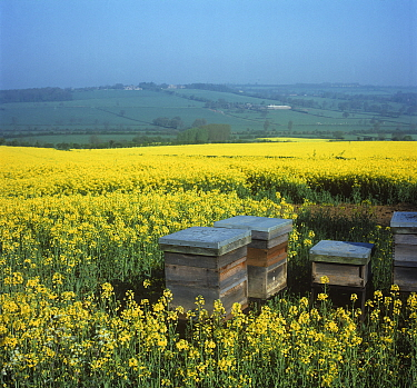 Honey bee (Apis mellifera) hives in flowering Oilseed rape (Brassica napus napus) field, for honey production and improved pollination. England, UK. May.