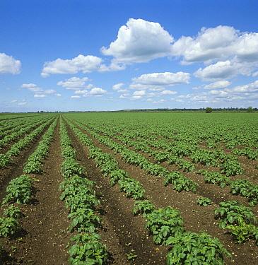Potato (Solanum tuberosum) plants, a young organic crop on large flat fenland field. Cambridgeshire, England, UK. June.