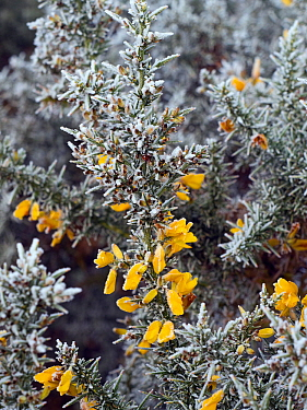 Gorse (Ulex europaeus) in flower in mid winter covered in frost and snow