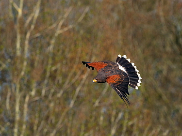 Harris's hawk (Parabuteo unicinctus) in flight, captive falconry bird.