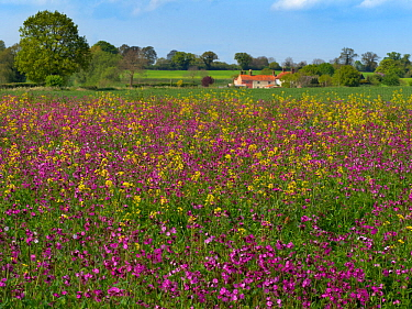 Red campion (Silene dioica) and self seeded Rapeseed (Brassica napus subsp. napus) Norfolk, UK, May.