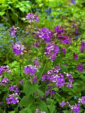 Annual honesty (Lunaria annua) garden plant.