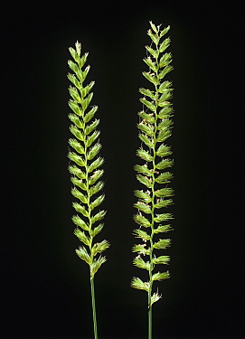 Crested dogstail (Cynosurus cristatus) grass flower spikes against a studio black background