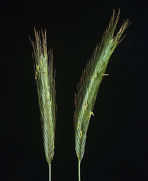 Rye (Secale cereale), two unripe spikes / ears with long awns.