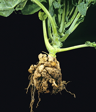 Clubroot (Plasmodiophora brassicae) diseased and distorted Cabbage (Brassica oleracea) root.