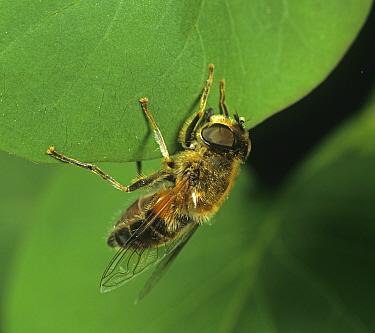 Drone fly (Eristalis tenax), a bee mimic, on leaf. England, UK.