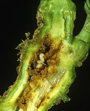 Rape winter stem weevil (Ceutorhynchus picitarsis) larvae in damaged Oilseed rape (Brassica napus napus) stem.