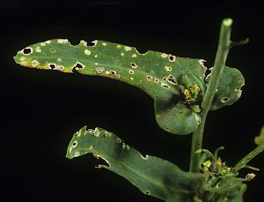 Flea beetle (Phyllotreta sp) feeding damage on Oilseed rape (Brassica napus napus) leaf.