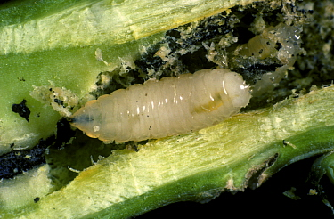 Cabbage root fly (Delia radicum) larva with frass in damaged Oilseed rape (Brassica napus napus) root.
