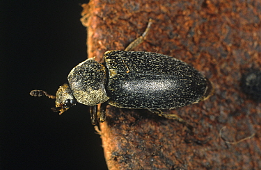 Hide beetle (Dermestes maculatus) on leather, feeds on carrion or dry animal products. England, UK.