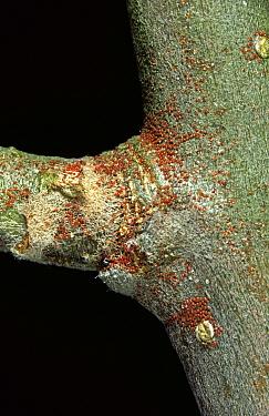 European red mite (Panonychus ulmi) eggs overwintering on Apple (Malus domestica) wood.