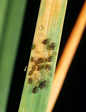 Bird cherry-oat aphid (Rhopalosiphum padi) infestation on Wheat (Triticum aestivum) leaf with Barley yellow dwarf virus (BYDV) symptoms present.