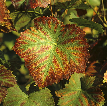 Necrotic lesions and damage on the margin of a Pinot Noir grape leaf caused by magnesium deficiency. Champagne, France.