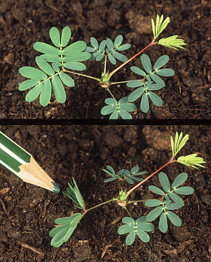 Sensitivity plant (Mimosa pudica) shown before and after touching the sensitive leaves.