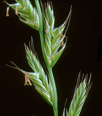 Perennial ryegrass (Lolium perenne), close up of flowering spike with awned spikelets.