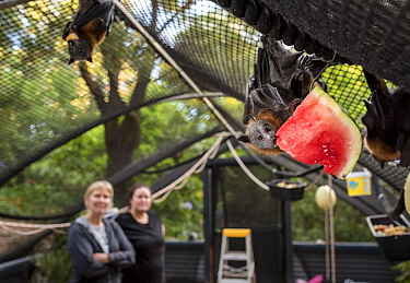 Rescued Grey-headed flying-fox (Pteropus poliocephalus) hanging from the roof of its enclosure whilst eating watermelon at the Fly-By-Night Bat Clinic, ??Olinda, Victoria, Australia. ?February, 2018.?...