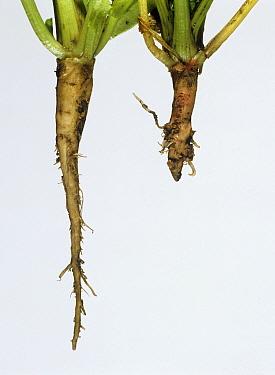 Flat backed millepede (Polydesmus angustus) damage to young Sugar beet (Beta vulgaris). Damaged tap root in comparison to normal undamaged tap root. England, UK.