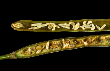 Brassica pod midge (Dasineura brassicae) larvae infestation in open Oilseed rape (Brassica napus napus) seed pod. England, UK.