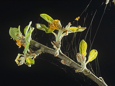 Red spider mite (Panonychus ulmi) webbing on young Apple (Malus domestica) branch, damage to leaves.