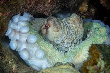 Big blue octopus (Octopus cyanea) , Xiaoliuqiu Island, Taiwan