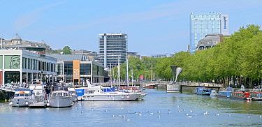 Bristol Docks, avenue of London Plane trees (Platanus x hispanica), leisure boats moored on Bristol docks, gulls in water, Pero's footbridge, Bristol UK May 2019