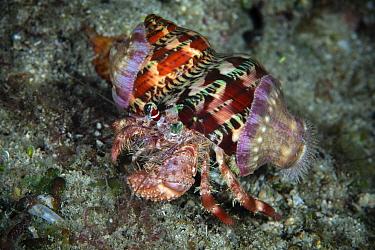 Anemone hermit crab (Dardanus pedunculatus) Xiaoliuqiu Island, Taiwan