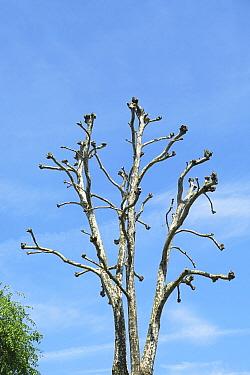 Heavily pollarded London Plane Trees (Platanus x hispanica) in surburban street, Bristol UK May 2019