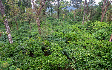 Coffee plantation on slope in the Western-Ghats, Coorg. India. Since arrival of Coffee Probably in 15th Century from Ethopia, slowly plantations spread Western-Ghats causing large scale deforestation