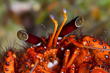 Red hermit crab (Dardanus megistos) Xiaoliuqiu Island, Taiwan