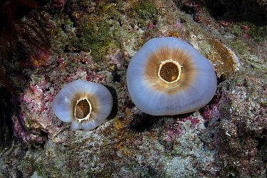 Retracted elephant ear anemone (Amplexidiscus fenestrafer) Xiaoliuqiu Island, Taiwan